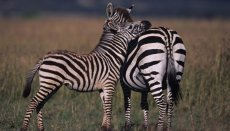 Zebras are just one species dependent on the sustainability of grasslands.